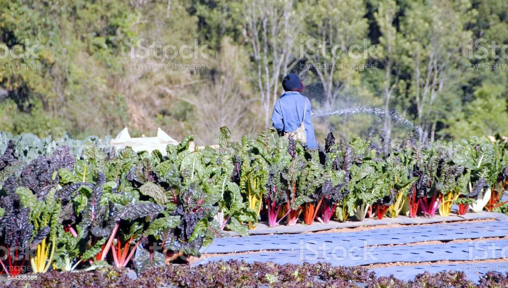 Gardener watering rainbow chard vegetable in the garden with hose stock photo