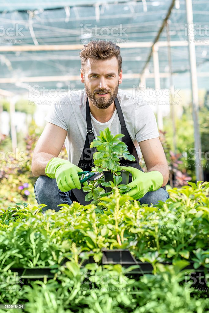 Gardener with a green plants in the hotbed stock photo