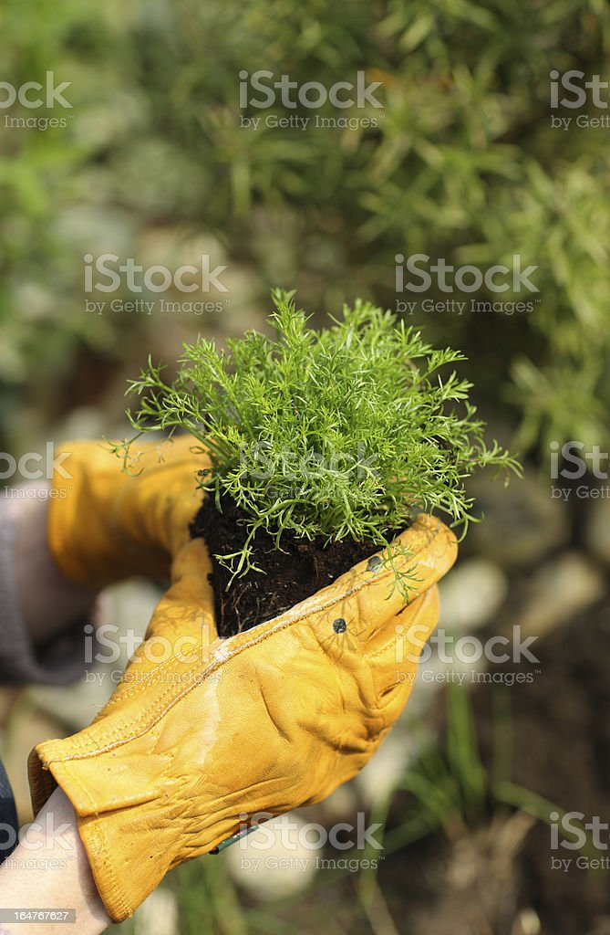 Gardener with Chamomile plant royalty-free stock photo