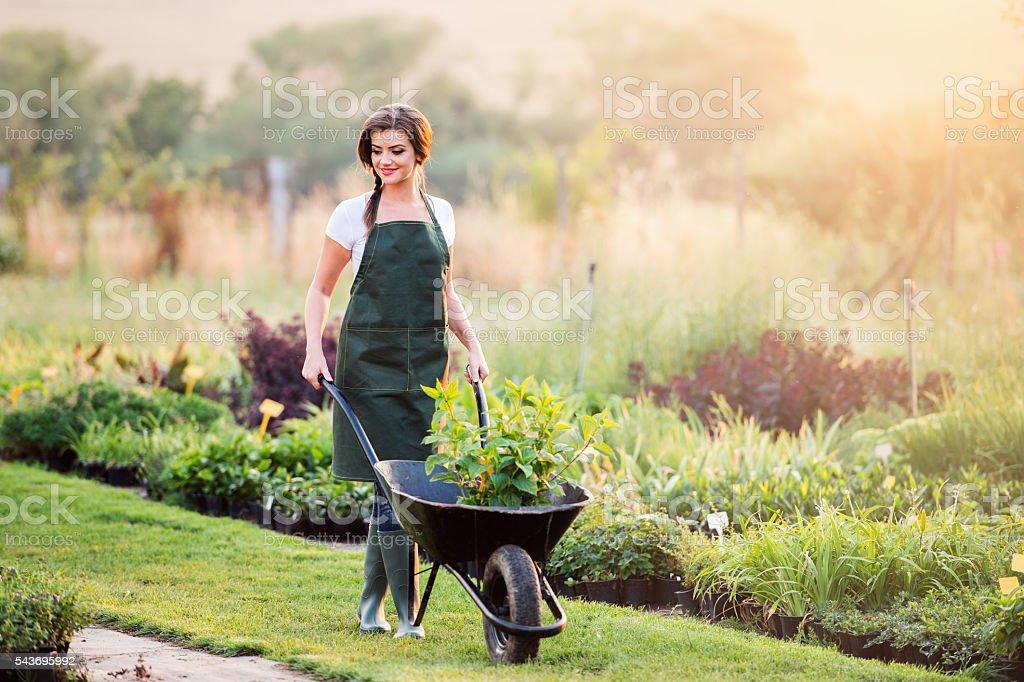 Gardener with seedling in wheelbarrow, sunny nature stock photo
