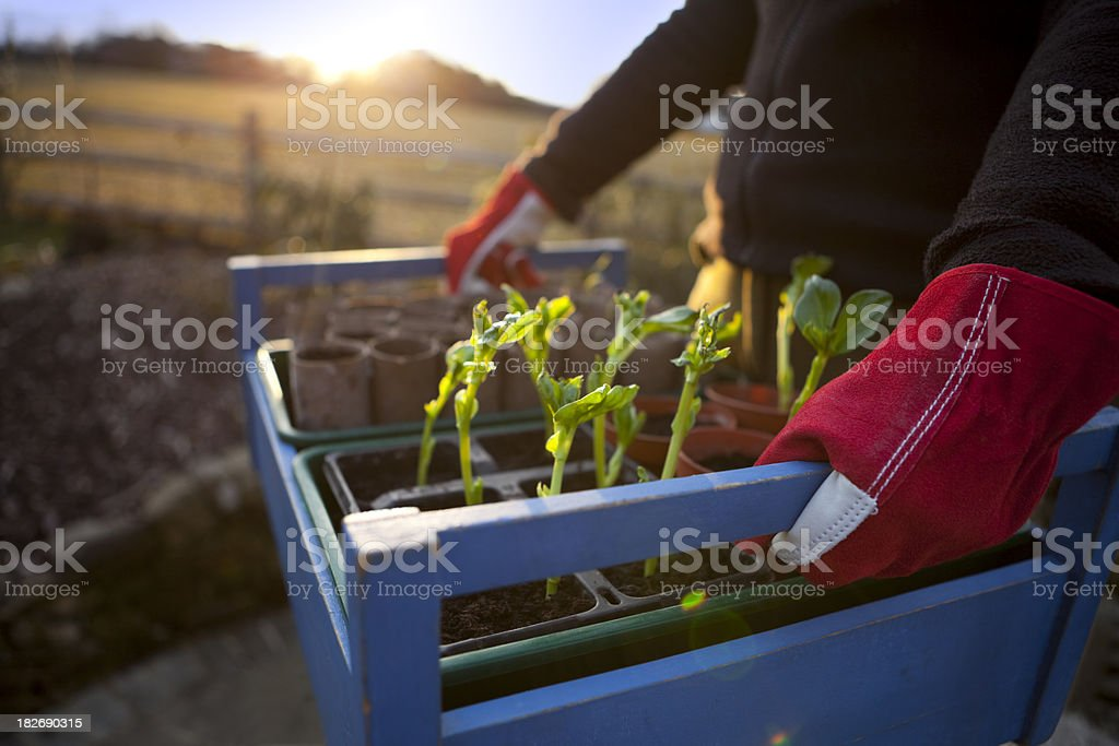 Gardener with Tray of Seedlings at Sunset royalty-free stock photo