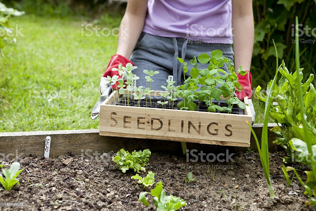 Gardener with Wooden Seedling Tray royalty-free stock photo