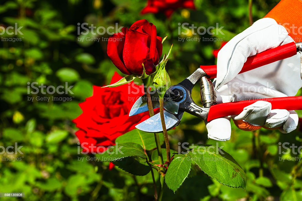 gardener's hand cutting off a rose. stock photo