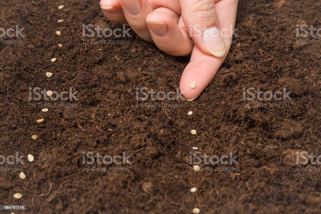 Gardener's hand seeding tomato seeds in the ground. stock photo