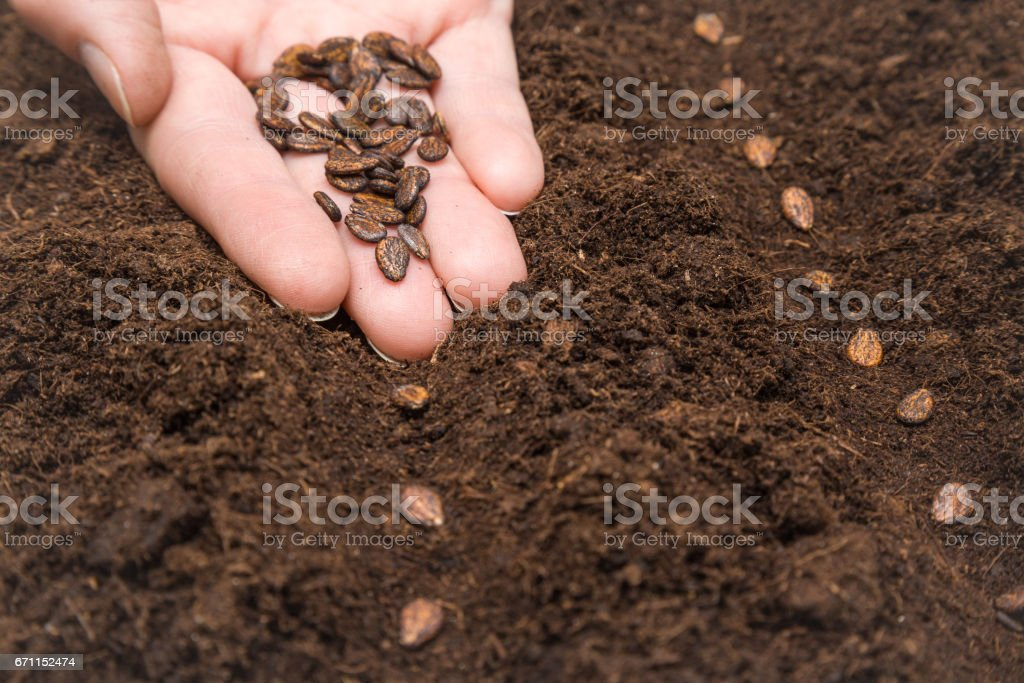 Gardener's hand seeding watermelon seeds in the ground. Early spring preparations for the garden season. stock photo