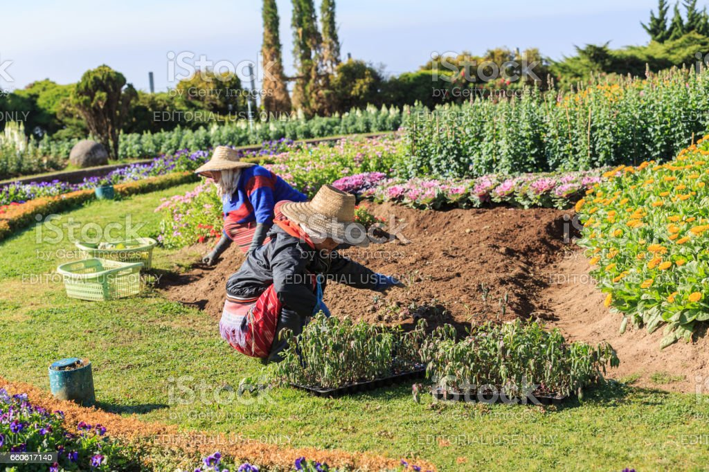 Gardeners planting flowers in Doi Intanon park. stock photo