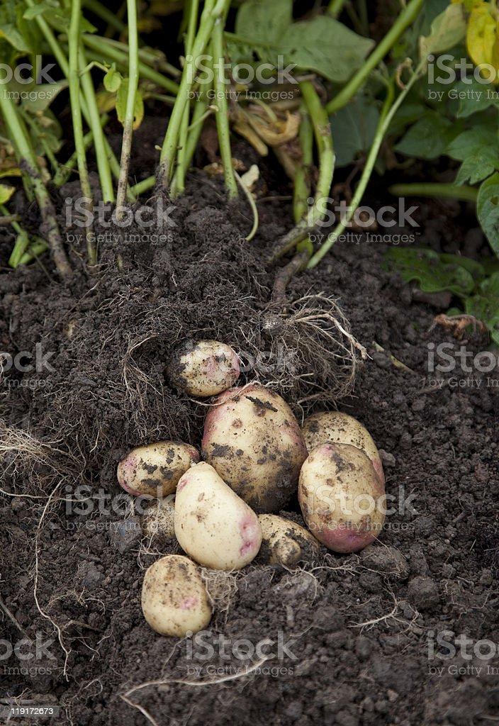 Gardeners Potatoes royalty-free stock photo