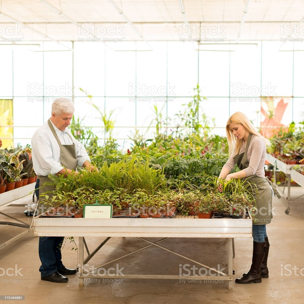 Gardeners working in greenhouse royalty-free stock photo