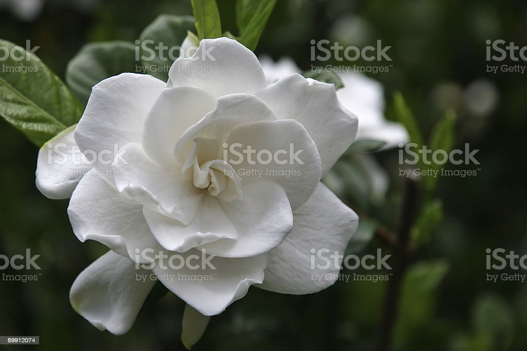 Gardenia Bloom stock photo
