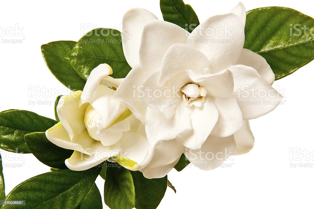 Gardenia Blossom Isolated on a Pure White Background stock photo