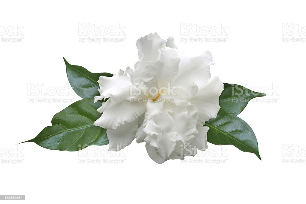 Gardenia flower Isolated on white background stock photo