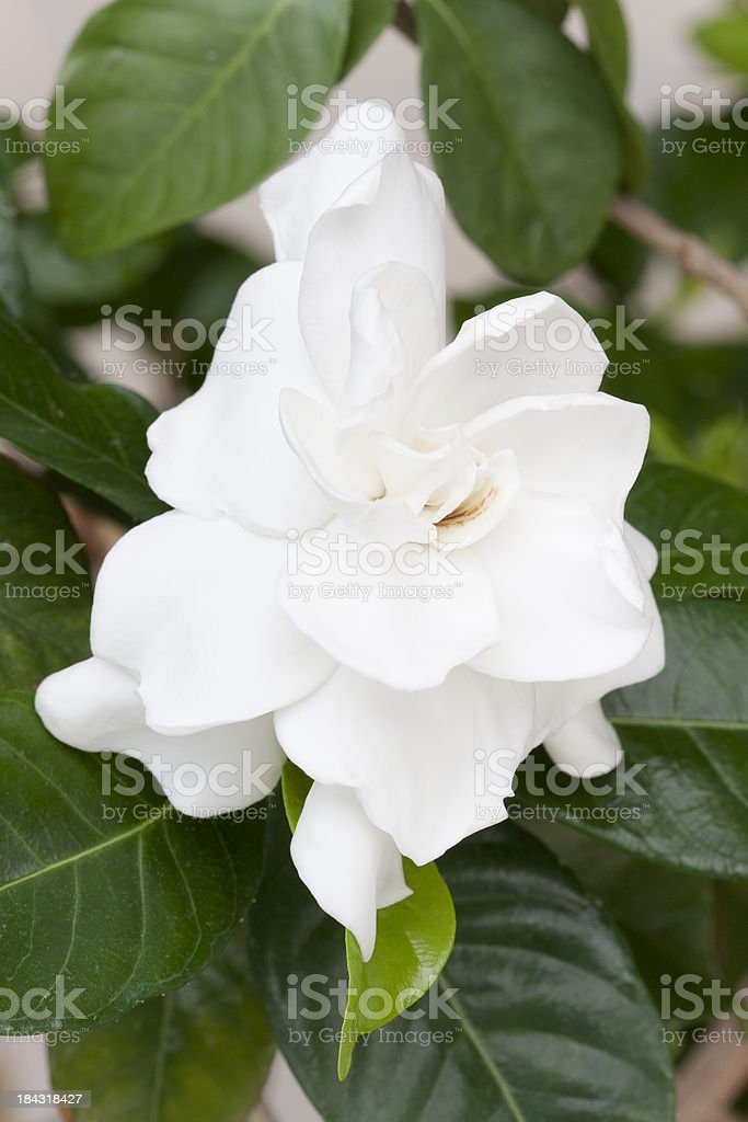 Close-up of a single Gardenia flower nestling within its own deep...