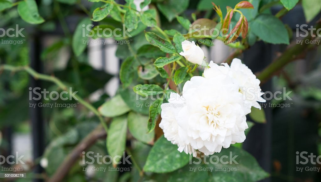 Gardenia flower in the garden, White flower, Abstract of complexity,...