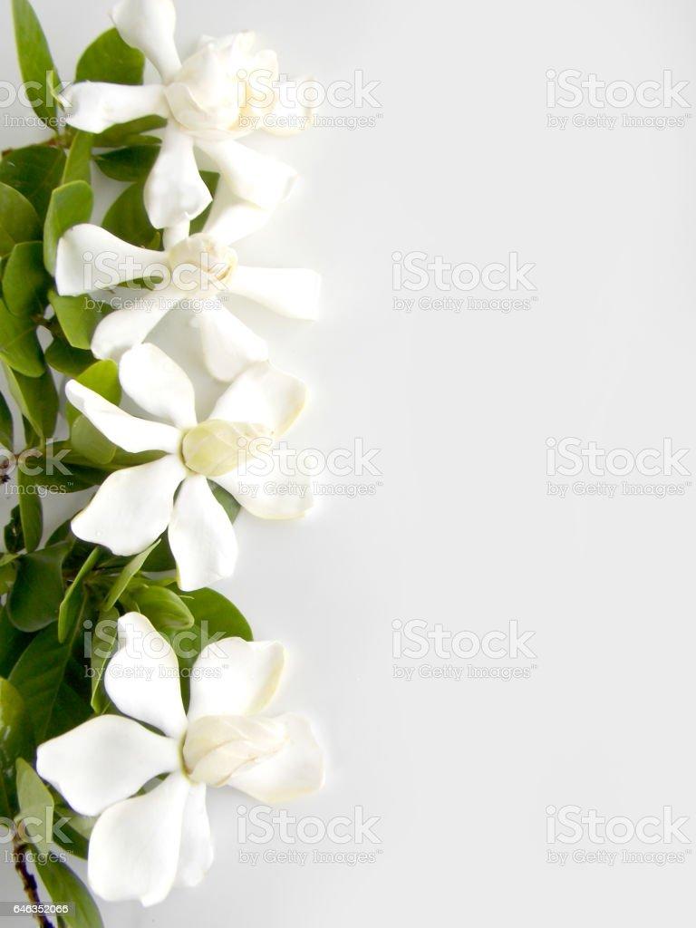 Beautiful gardenia flower on white background