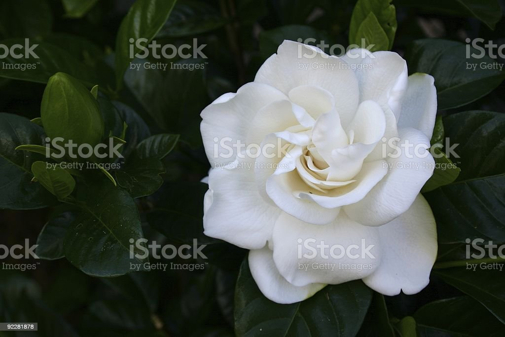 Gardenia Flower stock photo