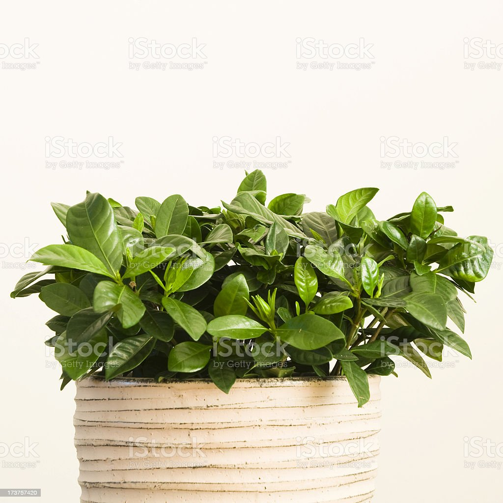 Gardenia in flower pot royalty-free stock photo
