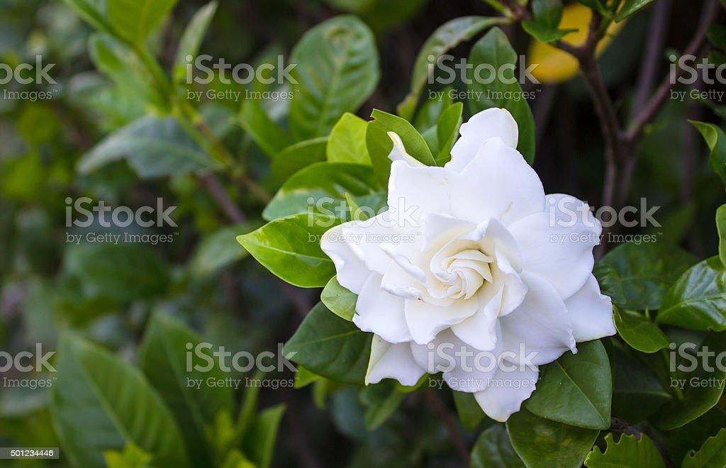 Gardenia jasminoides stock photo