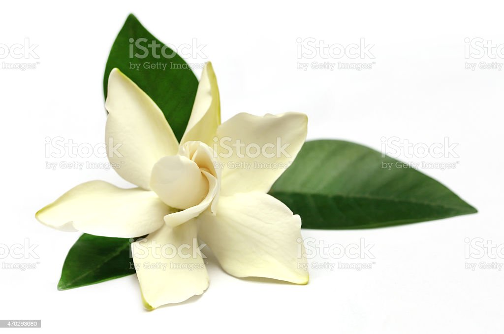 Gardenia or Gondhoraj flower of Southern Asia stock photo