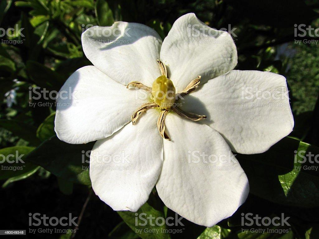 Gardenia thunbergia blossom stock photo