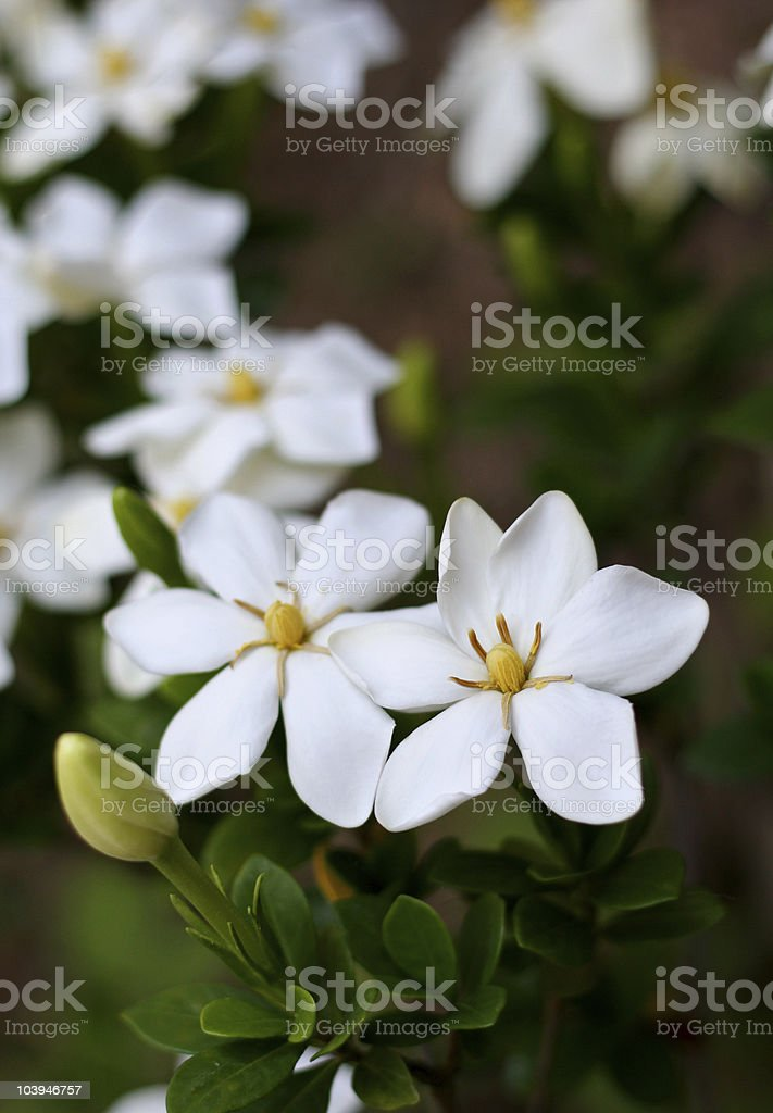 Gardenias in a flower garden stock photo