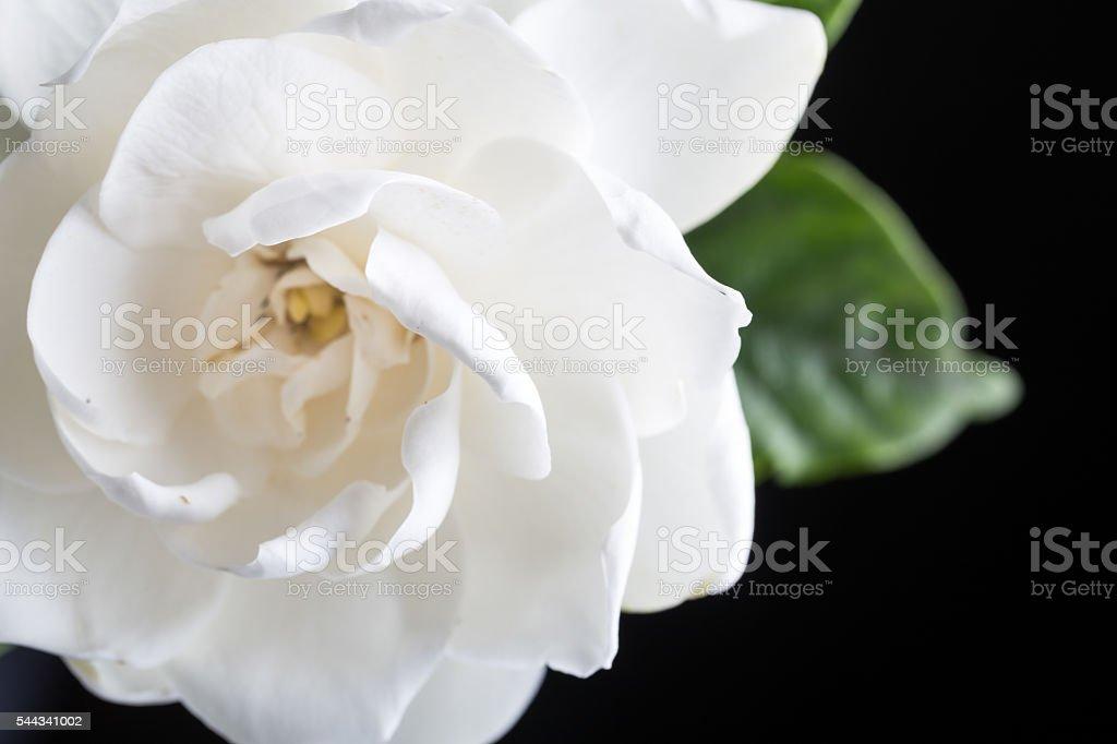 gardenias studio shot with blackbackground stock photo