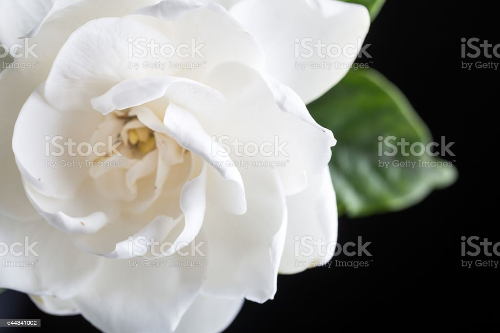 gardenias studio shot with blackbackground stock photo