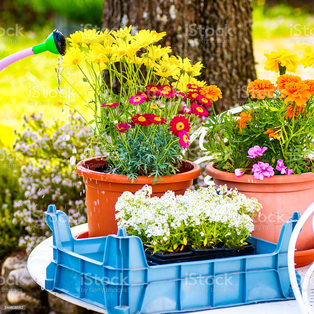 Gardening and potting fresh colorful flowers outdoors in spring season stock photo