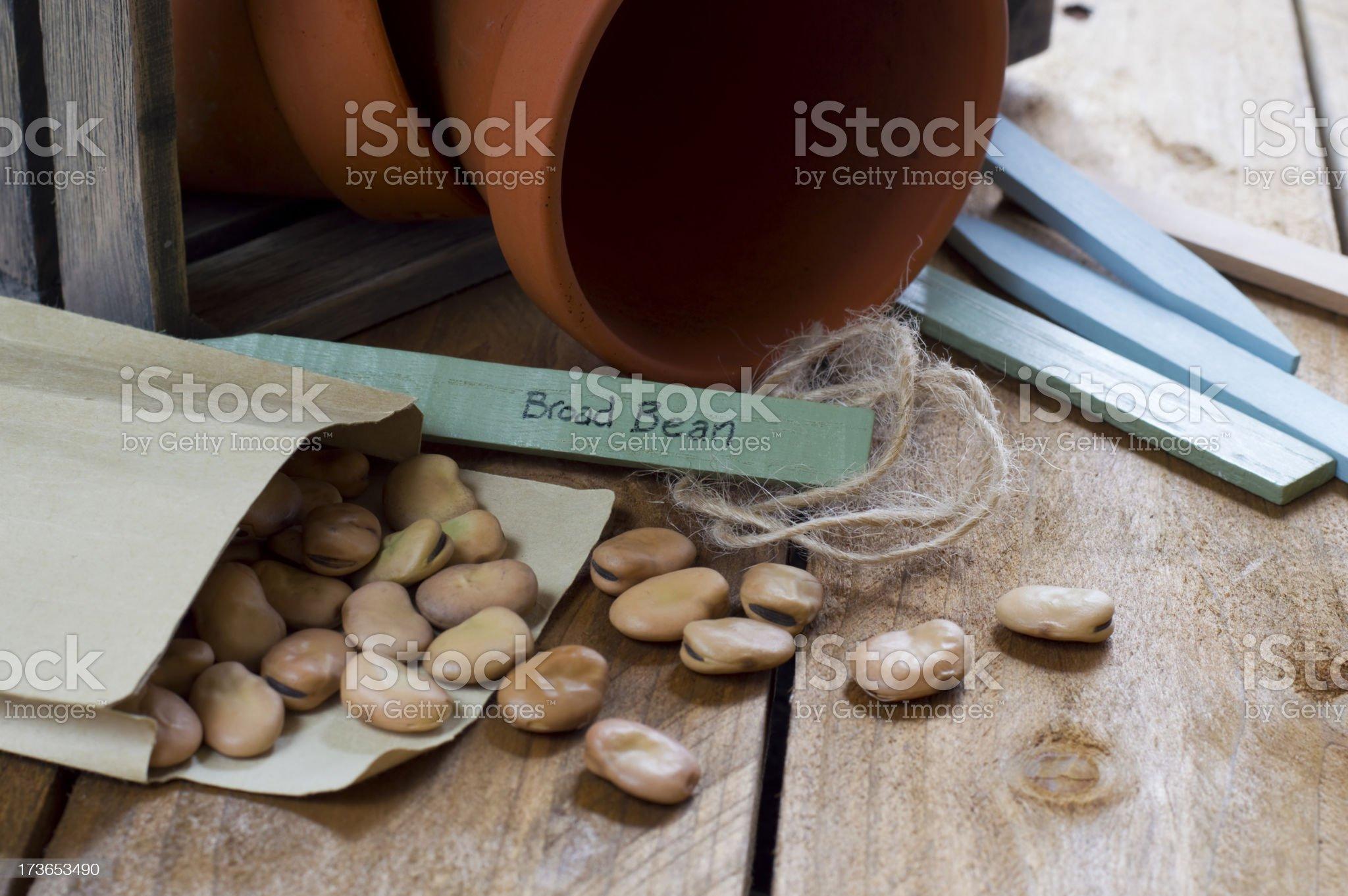 Gardening - Broad Bean Seeds royalty-free stock photo