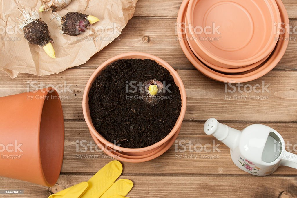 Gardening Concept. Gladiolus Bulbs. Watering Can. Pots, Gloves stock photo