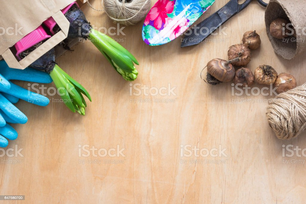 Gardening concept. Seedling hyacinth, garden tools, scissors, twine, shopping paper bag, tubers-bulbs gladiolus. Copy space. Top view. Spring background. stock photo