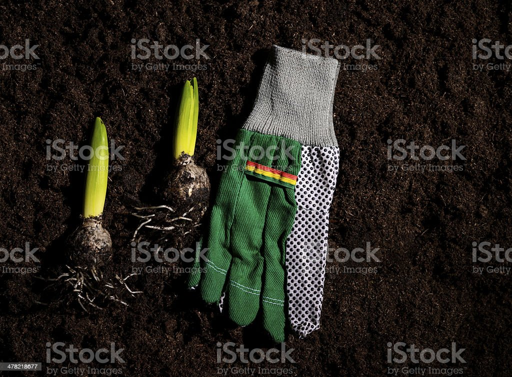gardening gloves and flower bulbs stock photo
