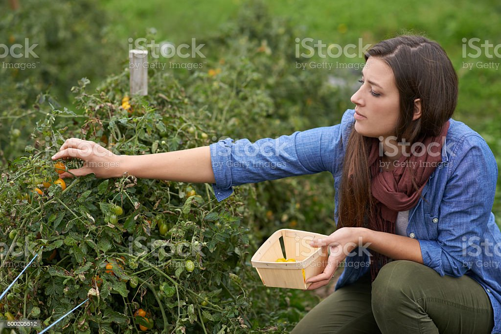 Gardening is cheaper than therapy... and you get tomatoes! stock photo