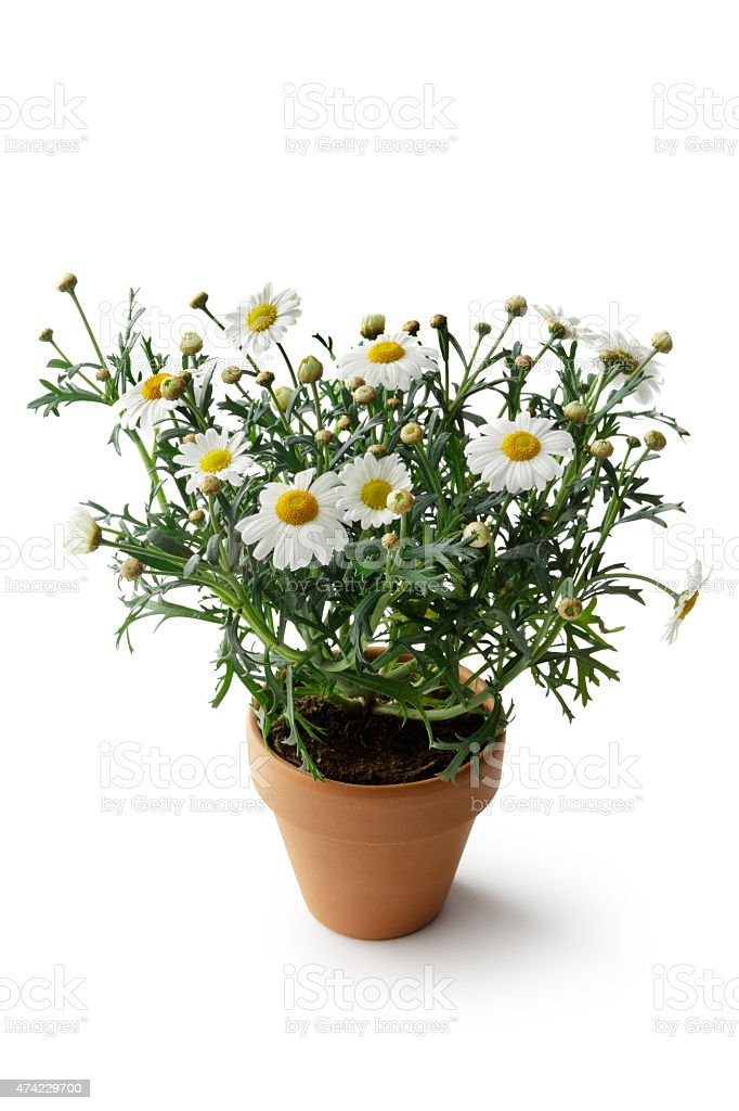 Gardening: Marguerite in Plant Pot stock photo