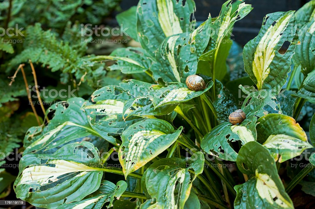 gardening problems with snails at lunch on hostas stock photo