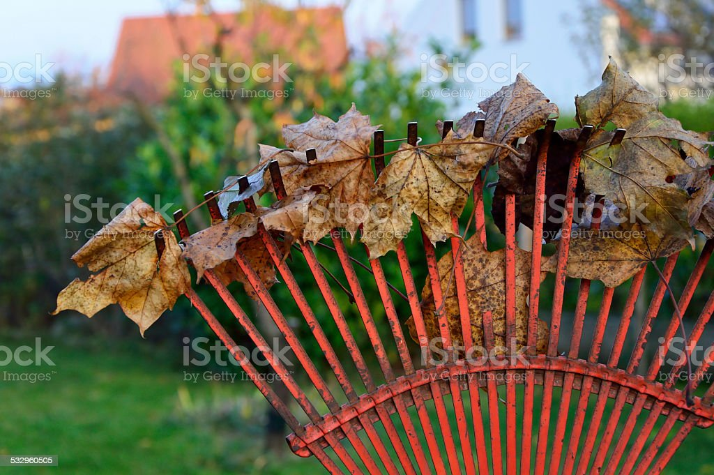 Gardening rake leaves in autumn stock photo
