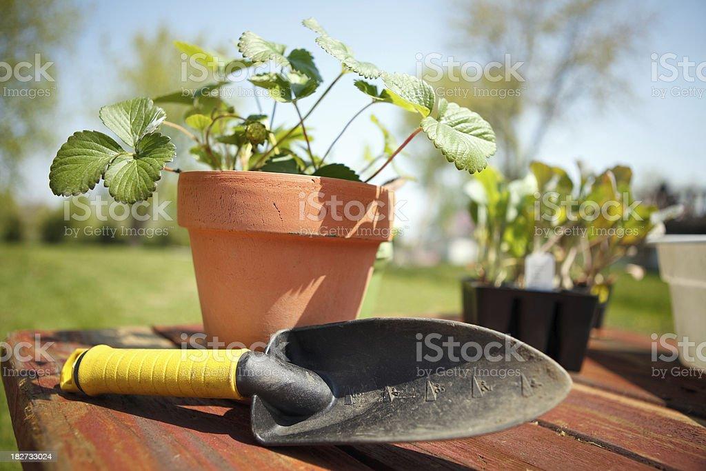 Gardening - Strawberry Plants royalty-free stock photo