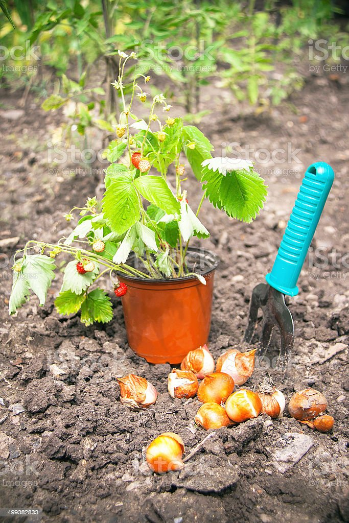 Gardening. The pot of strawberries and bulbs of flowers. stock photo