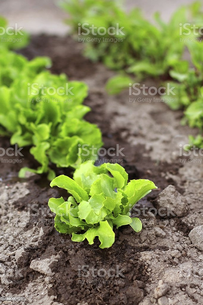 Gardening time! Lettuce plants! royalty-free stock photo