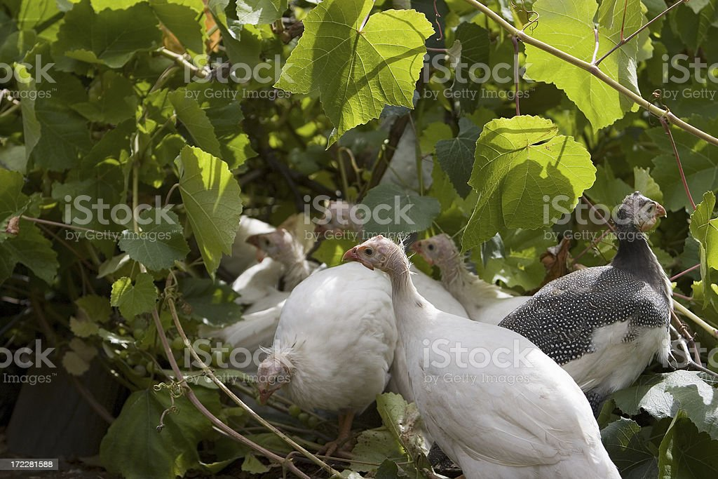 Gardening with Guineas stock photo