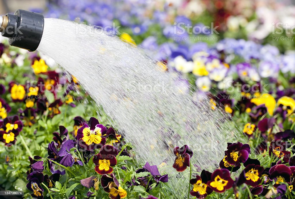 Gardening:pansy's being watered royalty-free stock photo