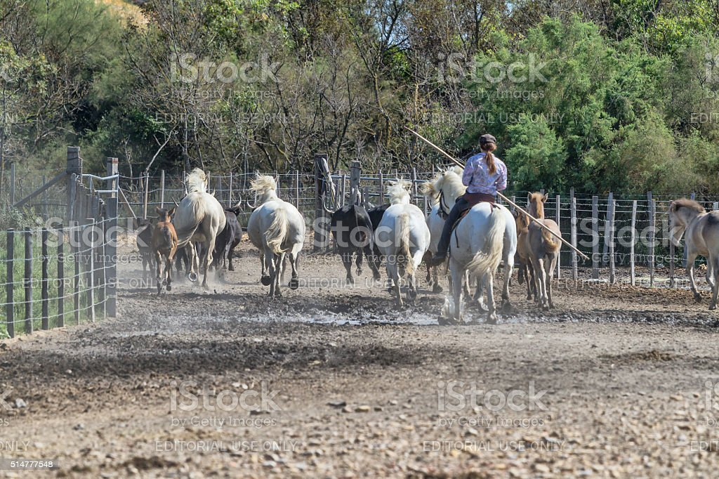 Gardian Galloping with white horses and bulls stock photo