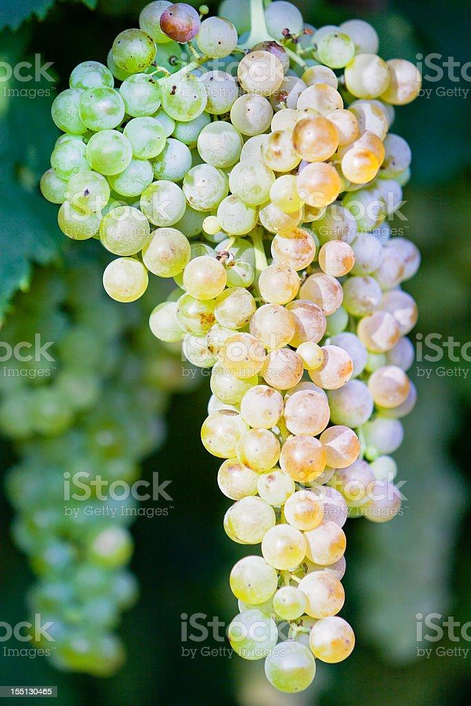 Garganega Grape stock photo