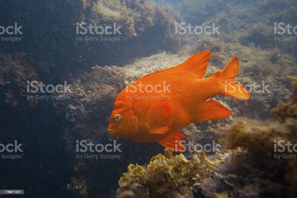 Garibald in Ocean Southern California royalty-free stock photo