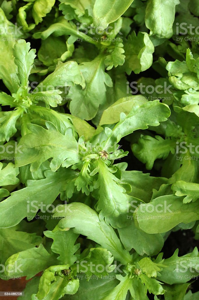 Garland Chrysanthemum - Chrysanthemum Segetum stock photo