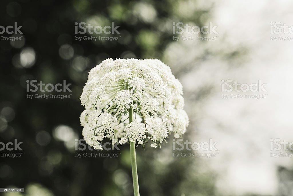 Fleur de l'ail photo libre de droits