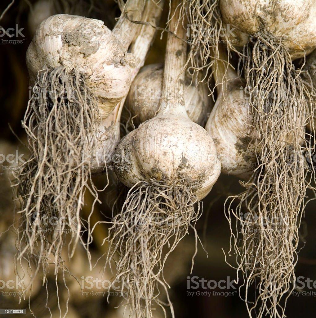 Garlic Bulbs Drying stock photo