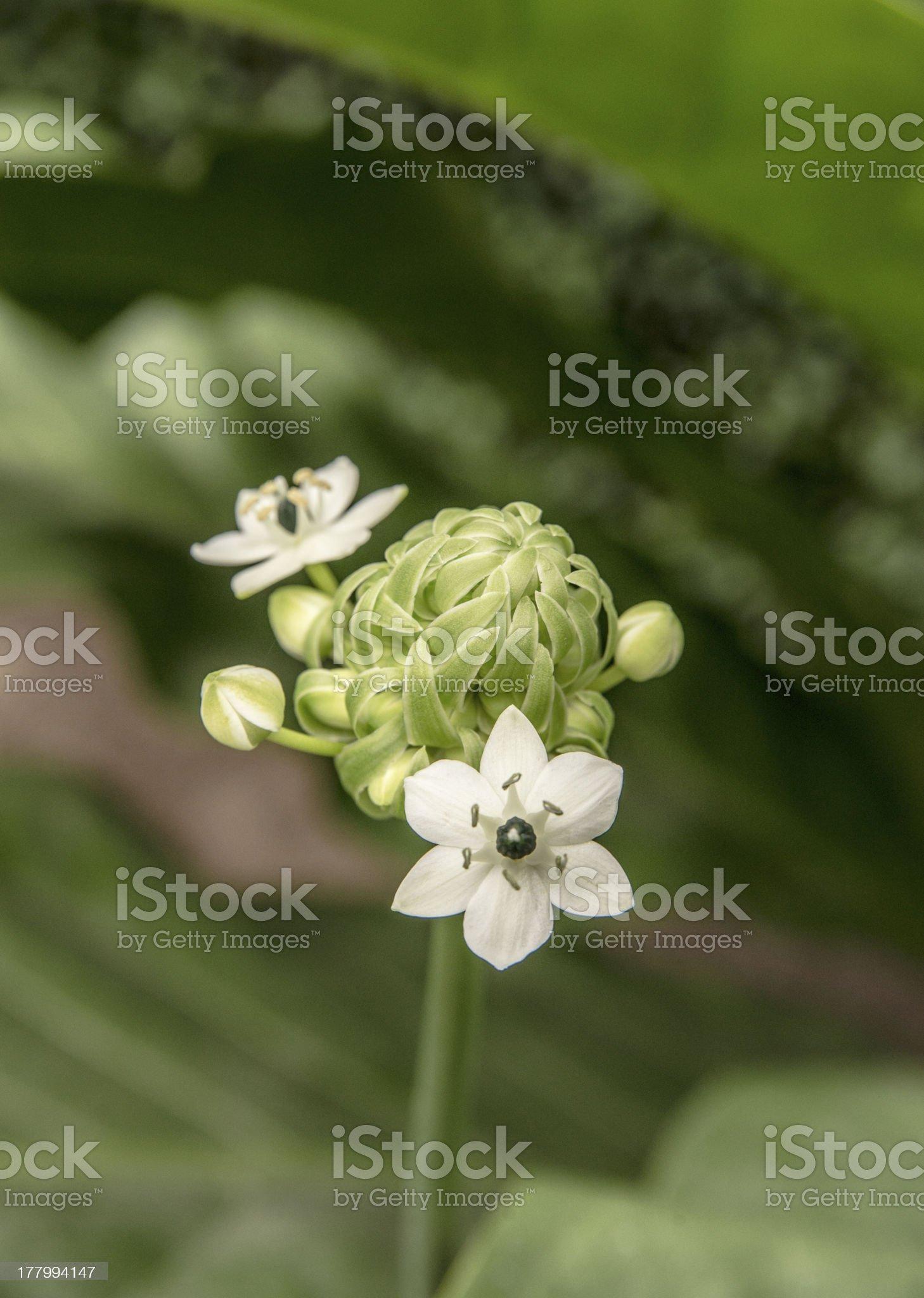 garlic chive flower royalty-free stock photo