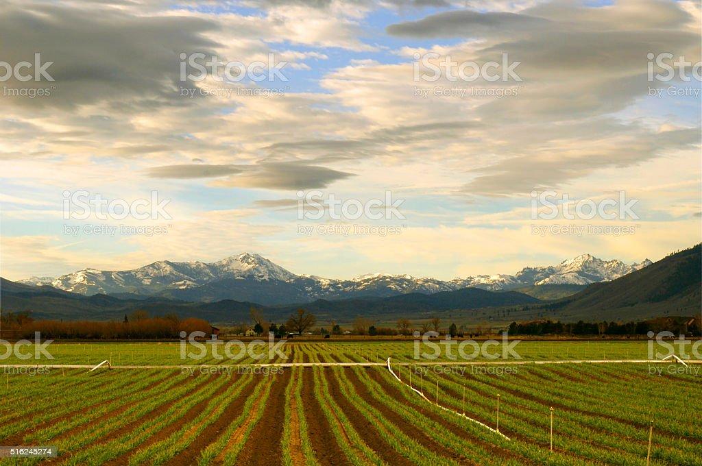 Garlic Crop Rows Growing in Nevada's Carson Valley stock photo