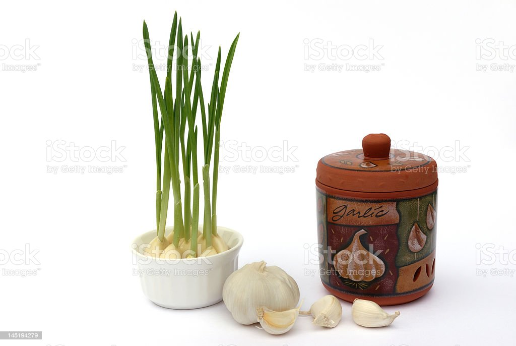 garlic keeper and green sprouts stock photo