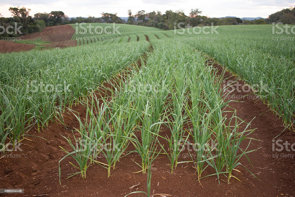 Garlic Plantation stock photo